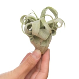 Tillandsia Streptophylla (medium)