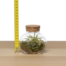 (small) Glass Cork + airplant