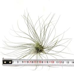Tillandsia Filifolia (XL)