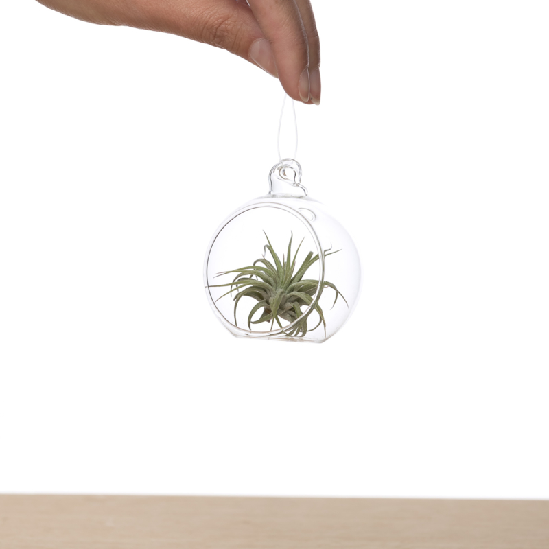 Tillandsia in glasbol 6m