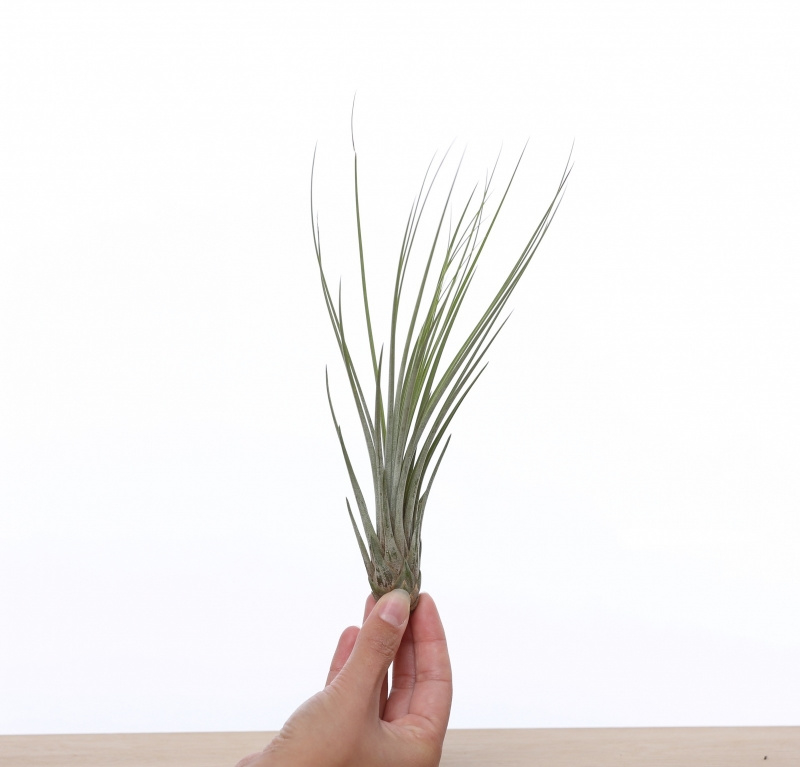 Tillandsia Juncea (medium)