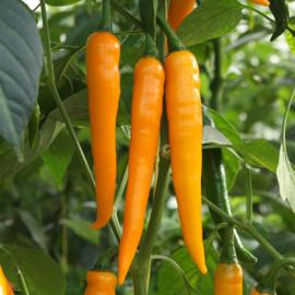 Oranje  pepers 'Koh Tao' | 3 stuks