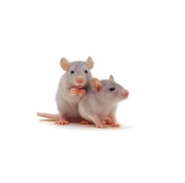 Kleine Weaner Rat 25-60gr 1kg