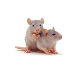 Grote Weaner Rat 60-90gr 1kg
