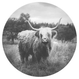 Highland cow z/w
