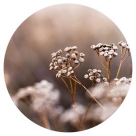 Muurcirkel - Botanical