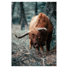 Higland cow