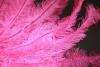 Flos rose