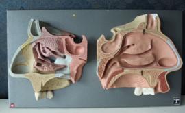 Somso / Dedex - Anatomisch model van de menselijke kaak