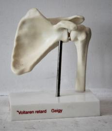 Anatomisch model van een schouder - Voltaren retard Geigy