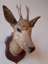 Hertekop bruin - opgezet dier