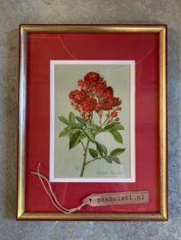 Afbeelding Roos - Crimson Rambler