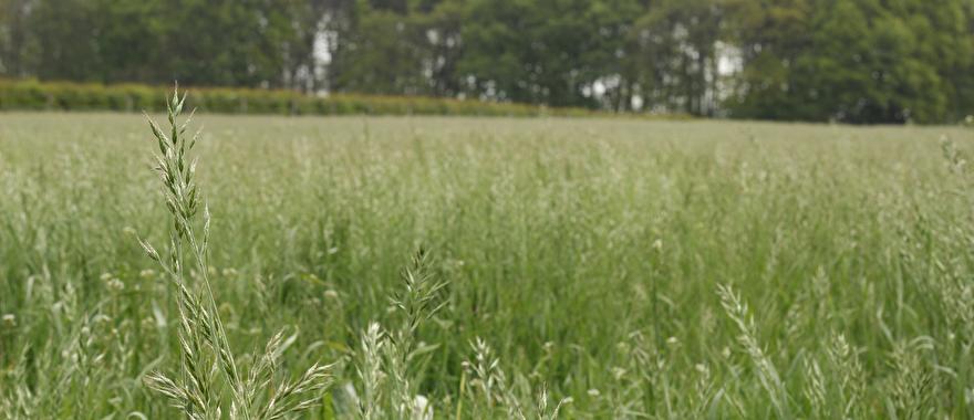 doorgeschoten lang gras