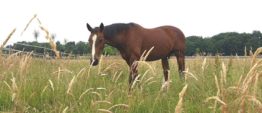 Paarden op lang gras