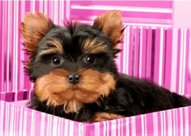 YORKSHIRE TERRIER IN PINK BOX WD2418  38 x 27 cm