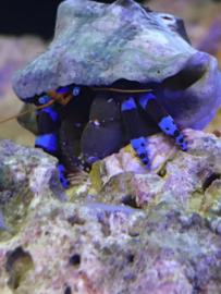 Hermietkreeft blauw - Calcinus Elegans