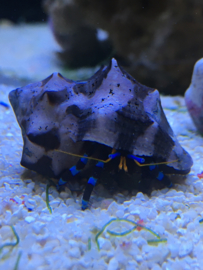 Blauwe Hermietkreeft - Calcinus Elegans