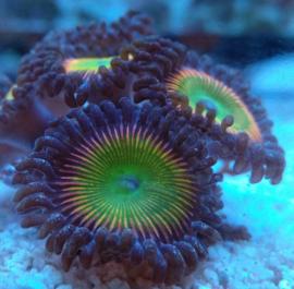 Mega Rainbow zoa - Zoanthus - Zoa