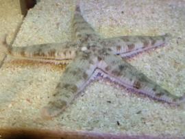 Zandzevende zeester - Archaster typicus