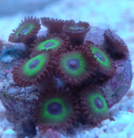 Mean green buttons - Zoanthus sp.12 mean green - Zoa