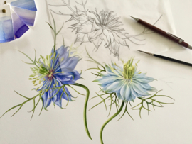 'Love in a Mist'