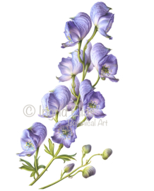 Card Monkshood