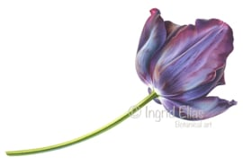 Black Tulip 'Queen of Night'