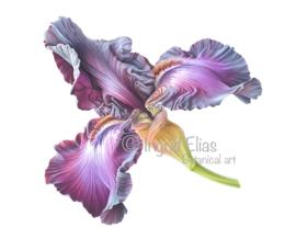 Iris Germanica 'Baltic Star'