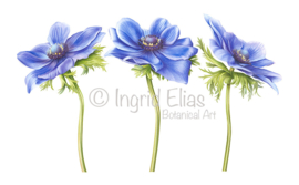 Anemone 'Blu Mistral'