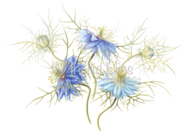 Card 'Love in a Mist'