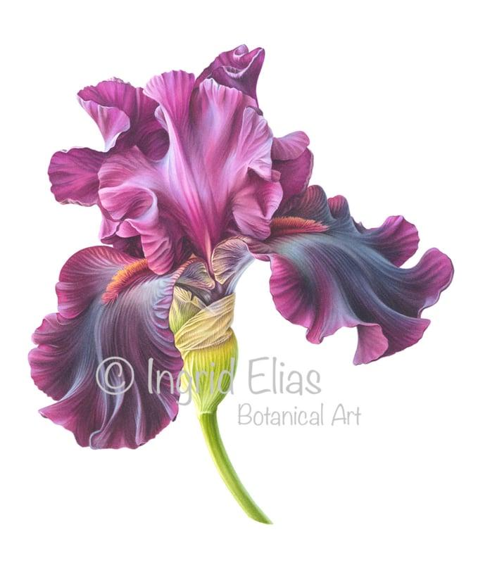 Iris Germanica 'Premier Cru'