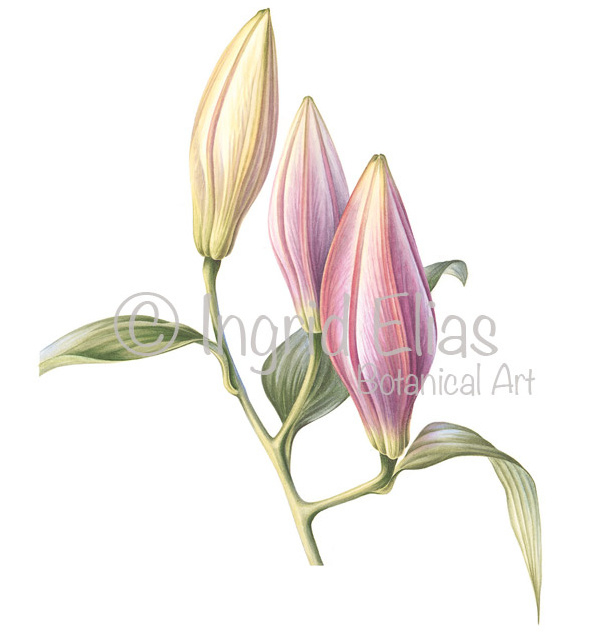 'Lily in bud'