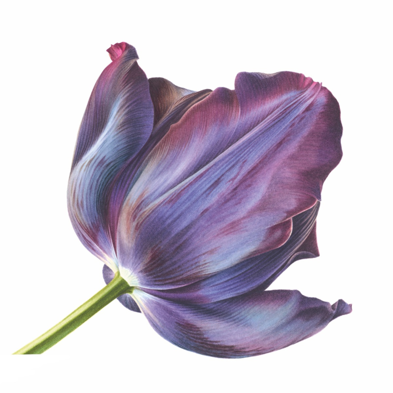 Card Black Tulip 'Queen of Night'