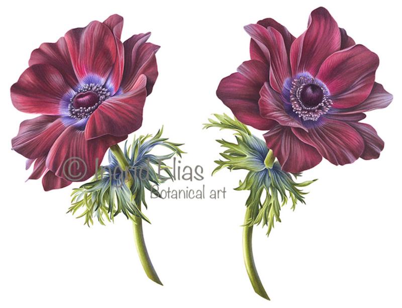 Card Anemone 'Mistral vinato'