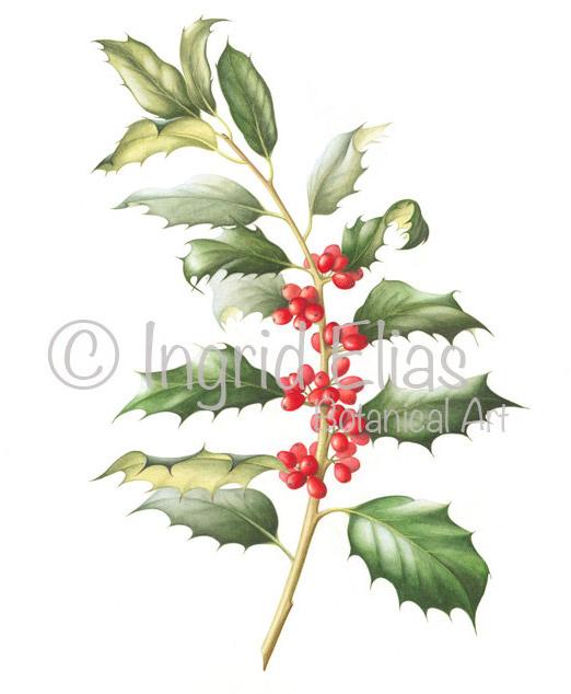 Card Ilex aquifolium