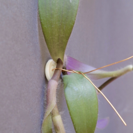 Plantknoopje | 12 stuks | vintage lichtgeel | Ø 20mm
