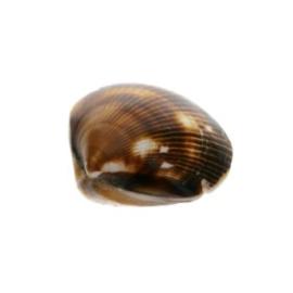 kraal schelp bruin dubbelzijdig 32 x 32 mm p/10