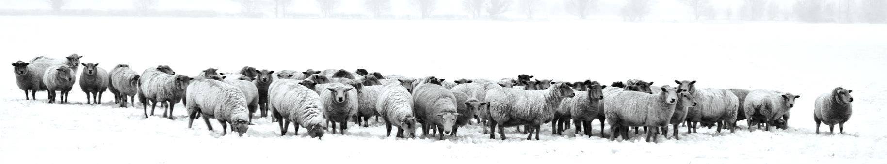 Sheep winter