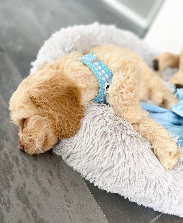 Puppy tuig setje skyblue circkels