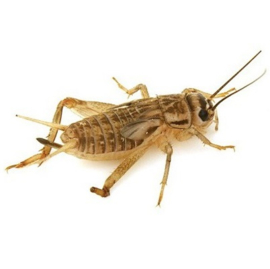 Crickets, freeze-dried 1 kilo