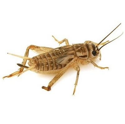 Crickets, freeze-dried 1 kilo