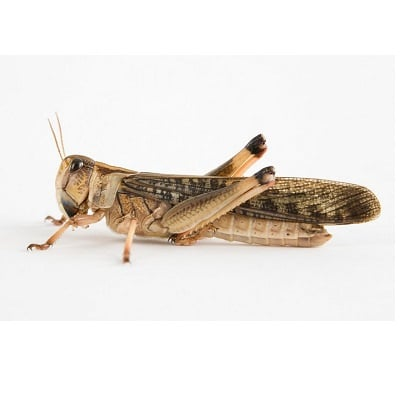 Grasshoppers, freeze-dried 1 kilo