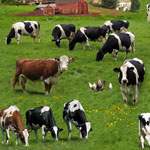 Cows Green