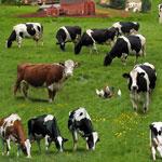 Cows Green