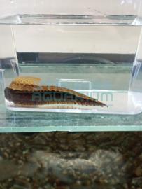 Mastacembelus frenatus - bonte stekelaal