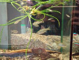 Ameca splendes - levendbarende hooglandkarper