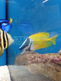 Siganus vulpinus - Vossenkop vis