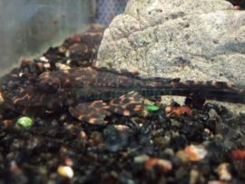 L165 Pterygoplichthys gibbiceps - zeilvin pleco
