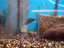 Altolamprologus calvus black pearl - tanganyka cichlide