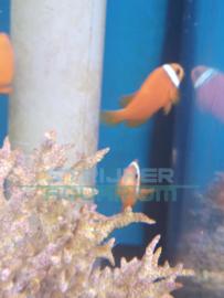 Amphiprion frenatus - Rode anemoonvis